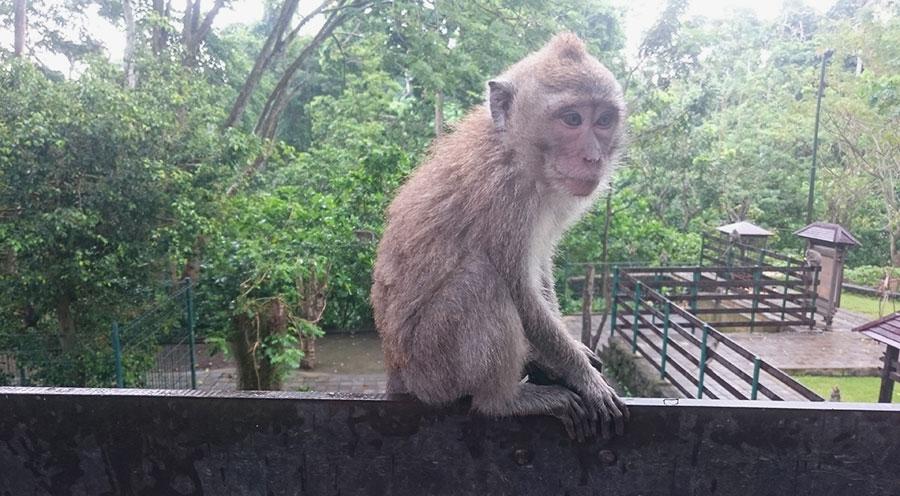 Sensations Voyage à Bali, indonéssie. Singe de la Money forest