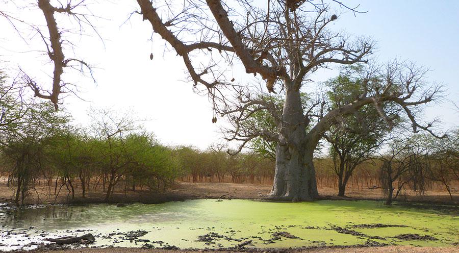 sensations-voyage-voyages-senegal-bandia-baobab