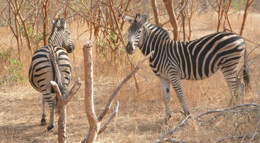 sensations-voyage-voyages-senegal-bandia-zebre