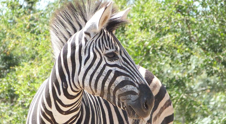 sensations-voyage-afriquedusud-safari-kruger-zebre-animaux