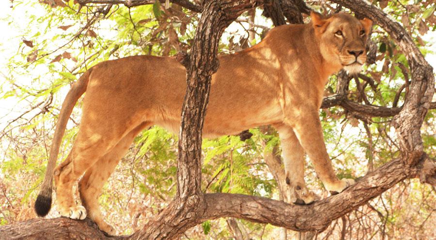 Sensations Voyage Sénégal senegal marche avec les lions fathala reserve lionne dans les arbres