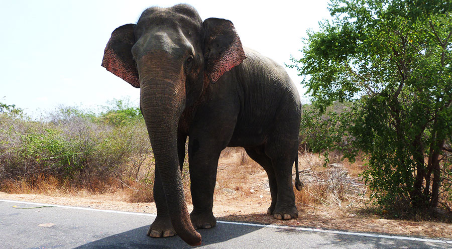 sensationsvoyage-voyage-sri-lanka-elephant-yala-on-the-road
