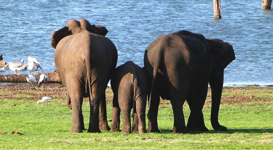 sensationsvoyage-voyage-sri-lanka-kaudulla-elephants-gathering-6