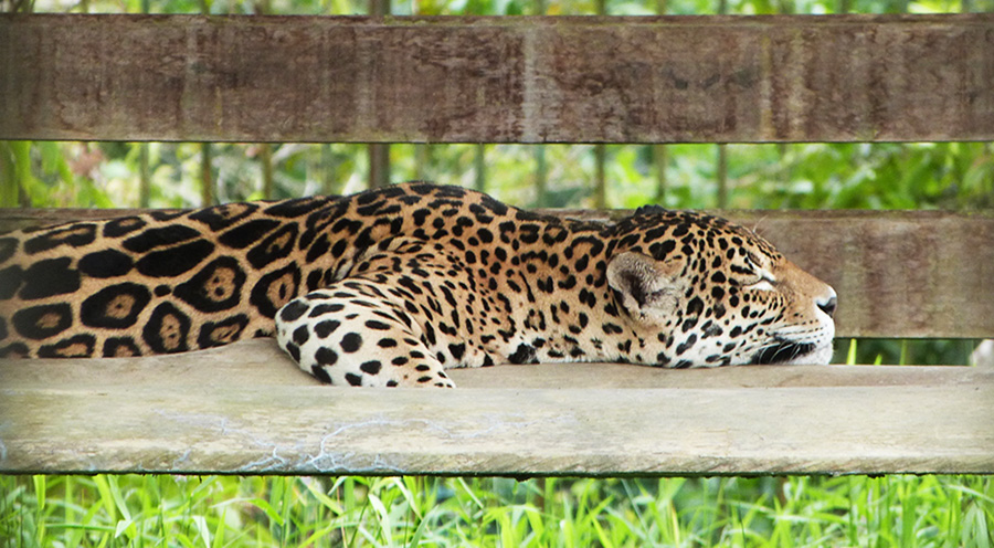 sensations-voyage-voyages-photos-guyane-zoo-macouria-panthere