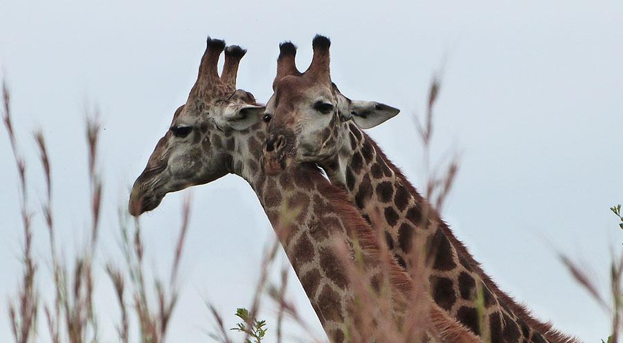 Safari Kruger Park, girafes Afrique du Sud - Sensations Voyage le blog, expériences