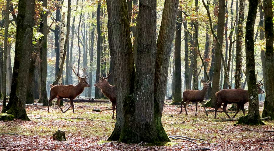 Sensations Voyage photo cerfs espace rambouillet foret sauvage troupeau nature experiences et bons plans