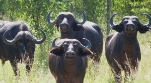 sensations-voyage-afriquedusud-safari-kruger-buffle