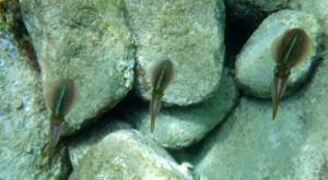 sensations-voyage-destination-guadeloupe-snorkeling-calamars-les-saintes