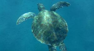 sensations-voyage-destination-guadeloupe-snorkeling-malendure-tortue