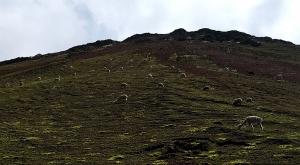 sensations-voyage-sensationsvoyage-perou-peru-cusco-cuzco-rainbow-mountain-alpaca-alpagas