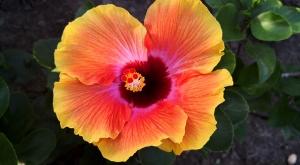 sensations-voyage-voyages-martinique-ile-aux-fleurs-hibiscus-2