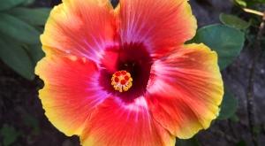 sensations-voyage-voyages-martinique-ile-aux-fleurs-hibiscus