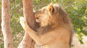 sensations-voyage-voyages-senegal-bandia-lion
