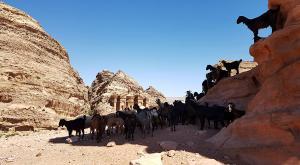 sensationsvoyage-sensations-voyage-jordanie-jordan-photos-petra-panorama-chevres