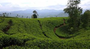 sensationsvoyage-voyage-sri-lanka-photo-nuwara-eliya-tea-plantations