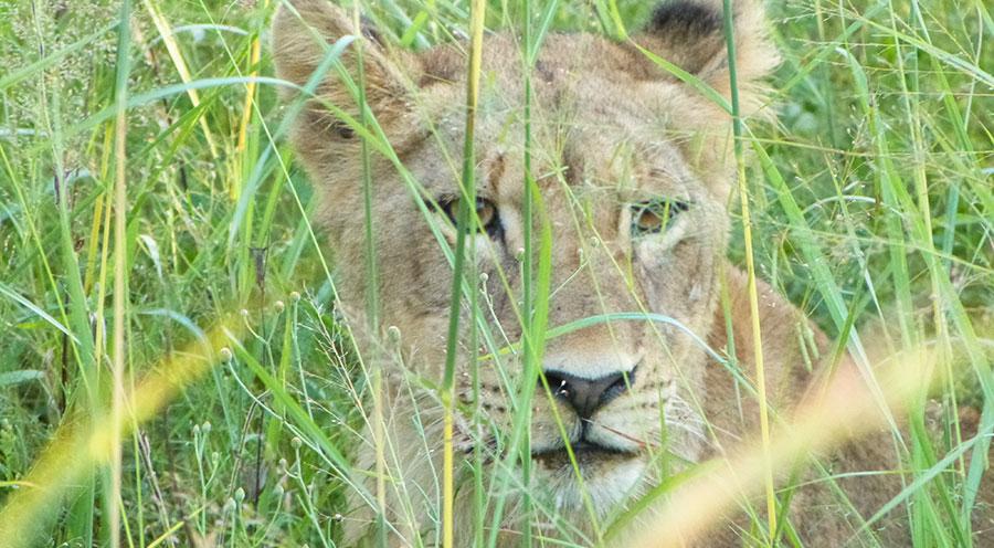 sensations-voyage-afrique-du-sud-safari-kruger-bebe-lion