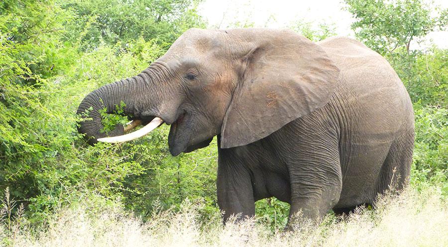 sensations-voyage-afrique-du-sud-safari-kruger-elephant