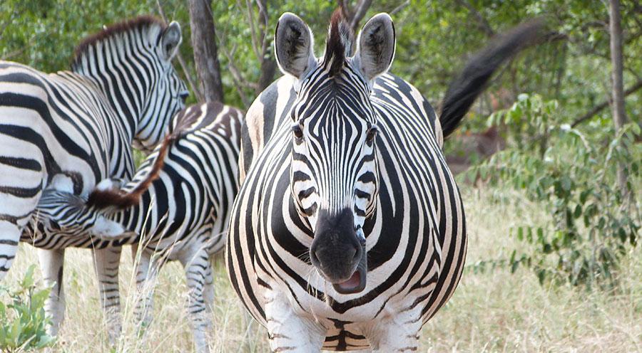 sensations-voyage-afrique-du-sud-safari-kruger-zebres