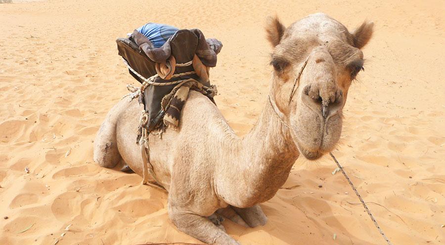 sensations-voyage-voyages-senegal-desert-lompoul-dromadaire
