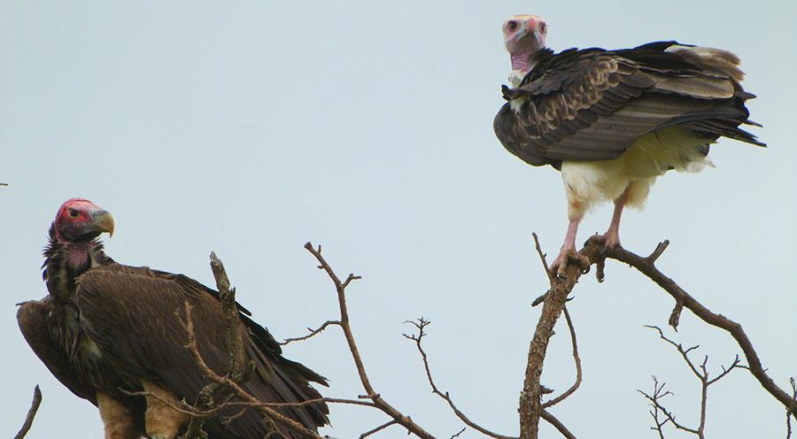 sensations-voyage-afriquedusud-safari-kruger-animaux-vautour
