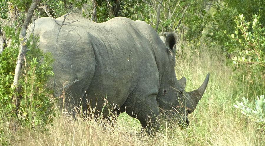 sensations-voyage-afriquedusud-safari-kruger-rhino