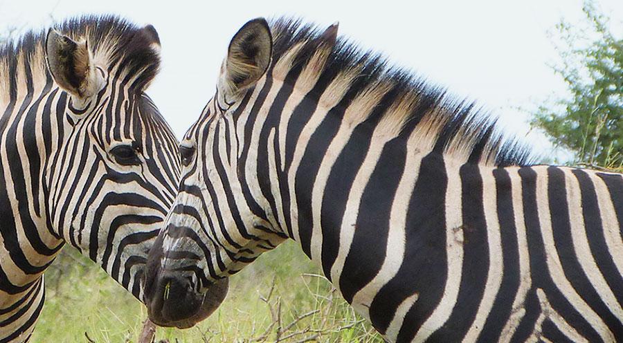 sensations-voyage-afriquedusud-safari-kruger-animaux-love