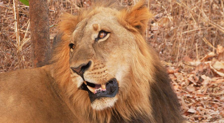 Sensations Voyage Sénégal Marche avec les lions Fathala, portrait lion