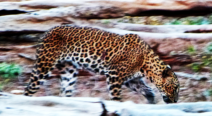 sensationsvoyage-srilanka-photos-yala-safari-leopard-trails-leopards