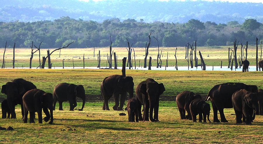 sensationsvoyage-voyage-sri-lanka-kaudulla-elephants-rassemblement-gathering