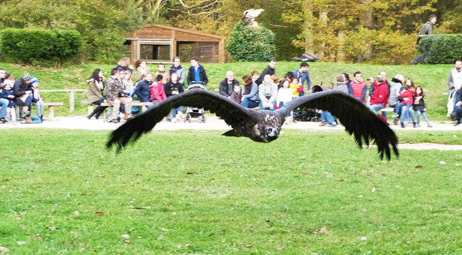 Sensations Voyage vautour en vol à l'espace rambouillet, spectacle de rapaces, expériences et bons plans