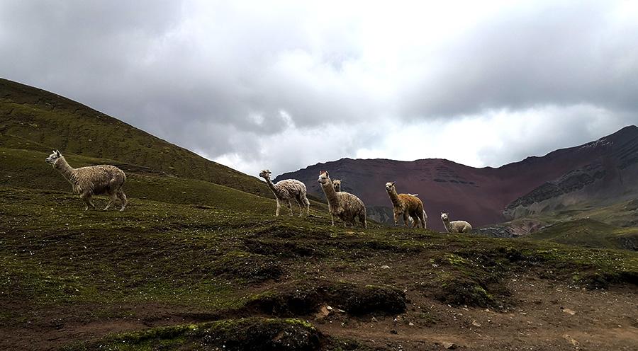 sensations-voyage-sensationsvoyage-perou-peru-cusco-cuzco-rainbow-mountain-alpaca