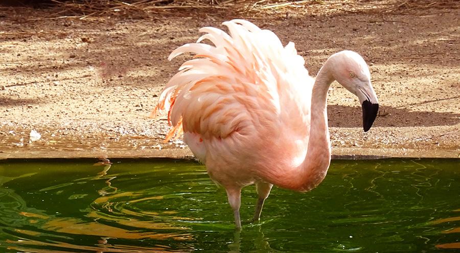 sensationsvoyage-sensations-voyage-photo-suisse-geneve-jardin-botanique-flamant-rose-flamingo-2