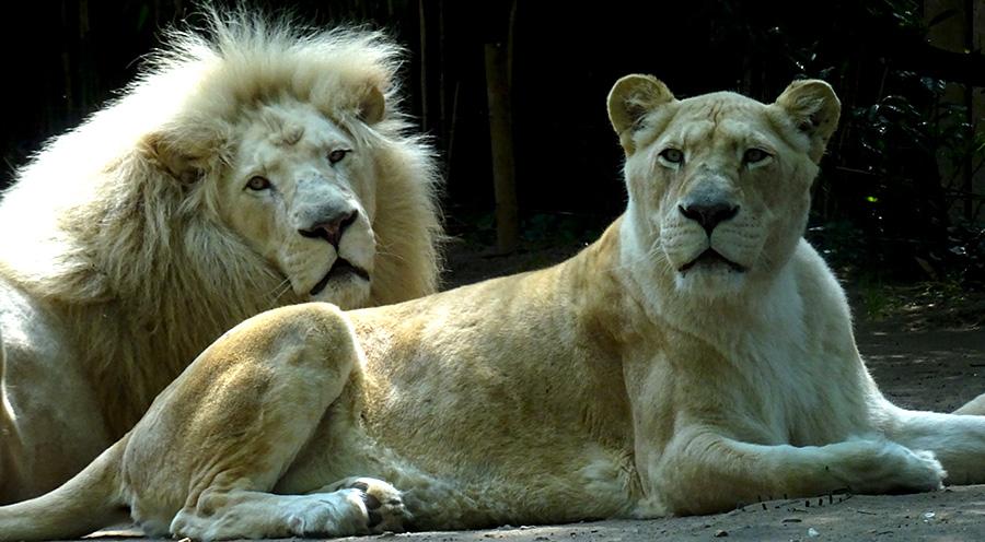 sensationsvoyage-sensations-voyage-photo-photos-france-experience-zoo-fleche-portrait-lion-lionne