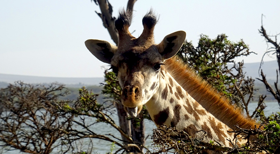 sensations-voyage-album-photos-kenya-walking-safari-naivasha-giraffe-sleepy-crescent-island-11
