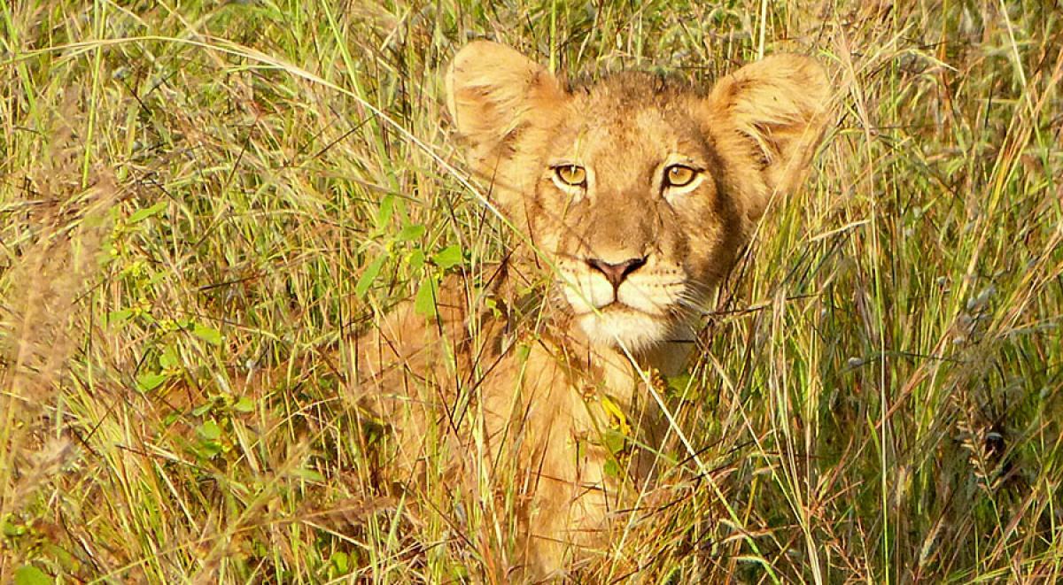 sensations-voyage-afriquedusud-safari-kruger-lion2