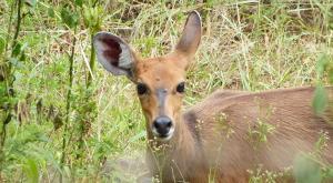 sensations-voyage-afriquedusud-safari-kruger-antilope