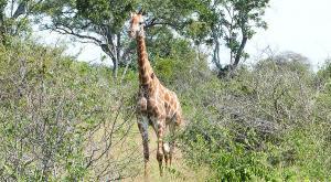 sensations-voyage-afriquedusud-safari-kruger-bébé-girafe1