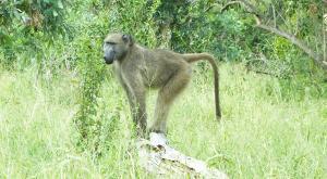 sensations-voyage-afriquedusud-safari-kruger-babouin