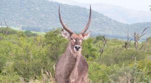 sensations-voyage-afriquedusud-safari-kruger-cob1