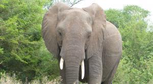 sensations-voyage-afriquedusud-safari-kruger-elephant-portrait