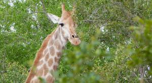 sensations-voyage-afriquedusud-safari-kruger-girafe