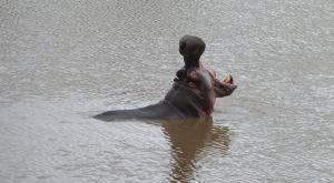 sensations-voyage-afriquedusud-safari-kruger-hippo