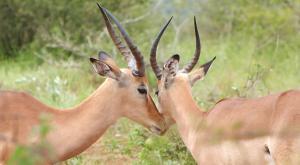sensations-voyage-afriquedusud-safari-kruger-impala-love