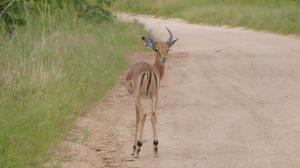 sensations-voyage-afriquedusud-safari-kruger-impala-smile