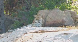 sensations-voyage-afriquedusud-safari-kruger-leopard2