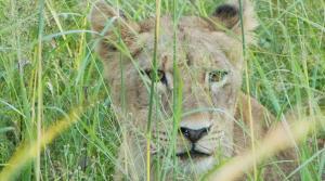 sensations-voyage-afriquedusud-safari-kruger-lion