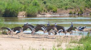 sensations-voyage-afriquedusud-safari-kruger-marabout