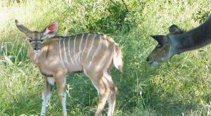 sensations-voyage-afriquedusud-safari-kruger-nyala