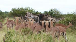 sensations-voyage-afriquedusud-safari-kruger-safari