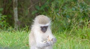 sensations-voyage-afriquedusud-safari-kruger-singe